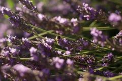 Abeja en las flores de la lavanda Imagen de archivo libre de regalías