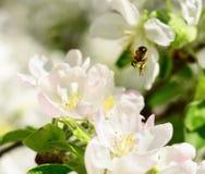 Abeja en las flores de la manzana Fotos de archivo libres de regalías