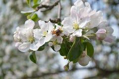 Abeja en las flores de la manzana Imagen de archivo