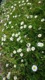 Abeja en las flores de la margarita Foto de archivo libre de regalías