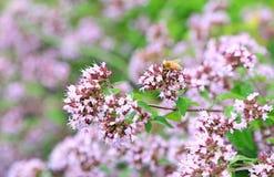 Abeja en las flores de la menta de agua Imagen de archivo