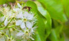Abeja en las flores de la primavera Imagenes de archivo