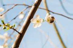 Abeja en las flores de la primavera de la almendra Foto de archivo libre de regalías