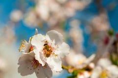 Abeja en las flores de la primavera de la almendra Fotos de archivo libres de regalías