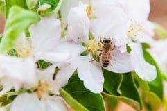 Abeja en las flores de la primavera de la manzana Foto de archivo libre de regalías