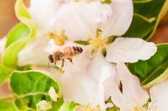 Abeja en las flores de la primavera de la manzana Fotos de archivo libres de regalías