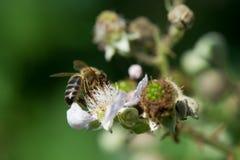 Abeja en las flores de zarzamoras Fotografía de archivo libre de regalías