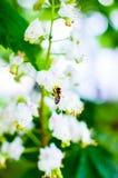 Abeja en las flores del árbol de castaña Fotografía de archivo libre de regalías