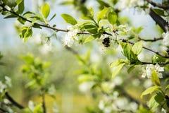 Abeja en las flores del árbol de ciruelo Imagenes de archivo