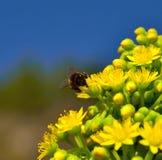Abeja en las flores del aeonium Fotografía de archivo