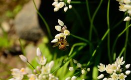 Abeja en las flores del ajo Imagenes de archivo