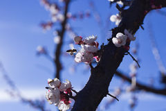Abeja en las flores del albaricoque Fotos de archivo libres de regalías