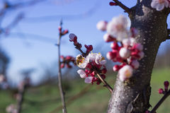 Abeja en las flores del albaricoque Imagenes de archivo