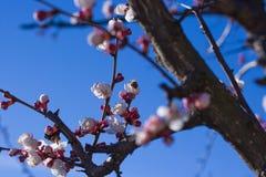 Abeja en las flores del albaricoque Imagen de archivo libre de regalías