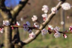 Abeja en las flores del albaricoque Imágenes de archivo libres de regalías