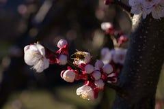 Abeja en las flores del albaricoque Fotografía de archivo