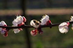 Abeja en las flores del albaricoque Fotos de archivo