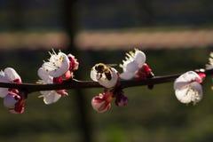 Abeja en las flores del albaricoque Imagen de archivo