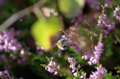 Abeja en las flores del brezo Fotos de archivo libres de regalías