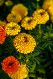 Abeja en las flores del camara del lantana Fotos de archivo