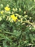 Abeja en las flores del celandine en primavera Fotografía de archivo