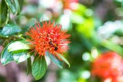 Abeja en las flores del constrictum de Combretum Foto de archivo libre de regalías