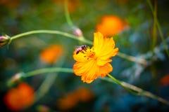 Abeja en las flores del cosmos Foto de archivo libre de regalías