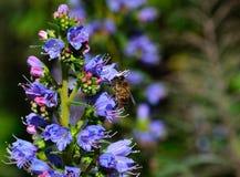 Abeja en las flores del echium Fotografía de archivo libre de regalías