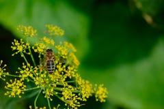 Abeja en las flores del eneldo Fotos de archivo