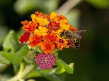 Abeja en las flores del Lantana Imagen de archivo libre de regalías