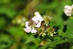 Abeja en las flores del lat de las zarzamoras Rubus Foto de archivo libre de regalías