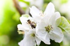 Abeja en las flores del manzano Imágenes de archivo libres de regalías
