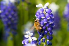 Abeja en las flores del muscari Fotografía de archivo libre de regalías