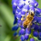 Abeja en las flores del muscari Fotos de archivo