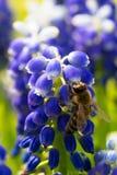 Abeja en las flores del muscari Imagen de archivo libre de regalías