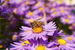 Abeja en las flores del otoño Fotos de archivo libres de regalías