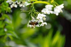Abeja en las flores del religiosa de Wrightia Imágenes de archivo libres de regalías