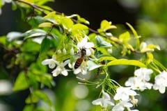 Abeja en las flores del religiosa de Wrightia Fotografía de archivo libre de regalías