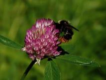 Abeja en las flores del resorte Foto de archivo libre de regalías