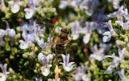 Abeja en las flores del romero Imagen de archivo libre de regalías