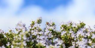 Abeja en las flores del romero Foto de archivo