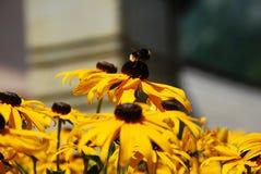 Abeja en las flores del Rudbeckia Fotos de archivo