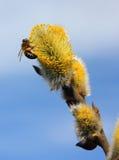 Abeja en las flores del sauce Fotos de archivo libres de regalías