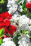 Abeja en las flores del spiraea cinerea, cerca de las flores de campanas rojas Fotografía de archivo