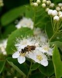 Abeja en las flores del spirea Fotografía de archivo libre de regalías