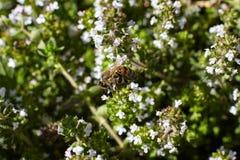 Abeja en las flores del tomillo Imagen de archivo