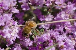 Abeja en las flores del tomillo Foto de archivo libre de regalías