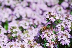 Abeja en las flores del tomillo del resorte Imagenes de archivo