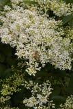 Abeja en las flores del vulgare del Ligustrum Imágenes de archivo libres de regalías