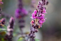 Abeja en las flores dulces del basilicum de Basil Ocimum foto de archivo libre de regalías